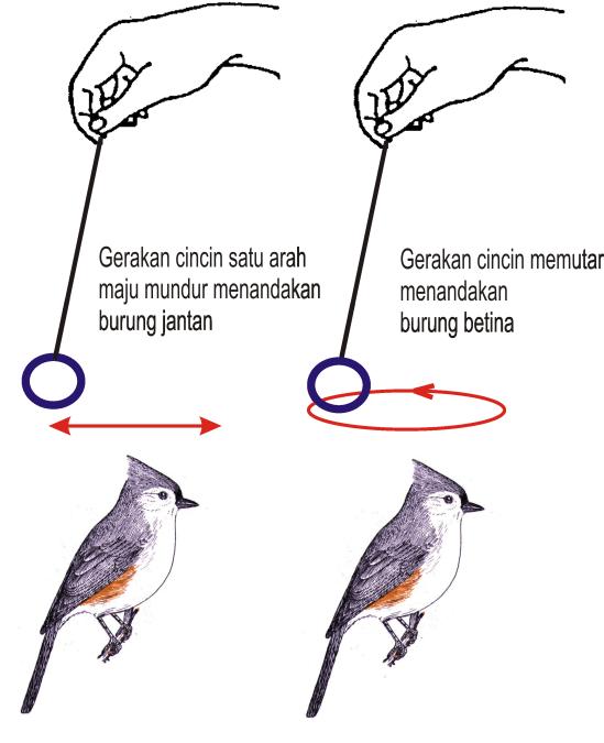 menentukan kelamin burung
