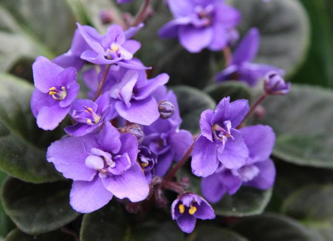 Tanaman hias bunga African violets
