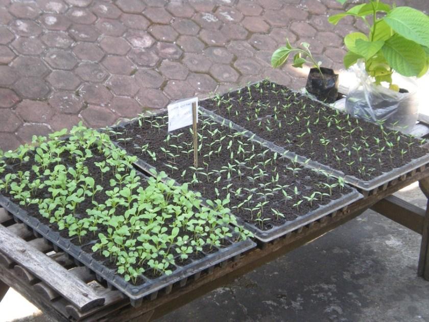 penyemaian bibit tanaman organik