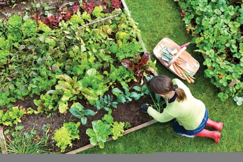 lahan tanaman organik