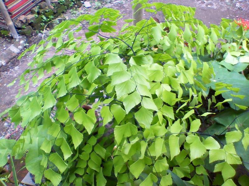 budidaya tanaman hias suplir