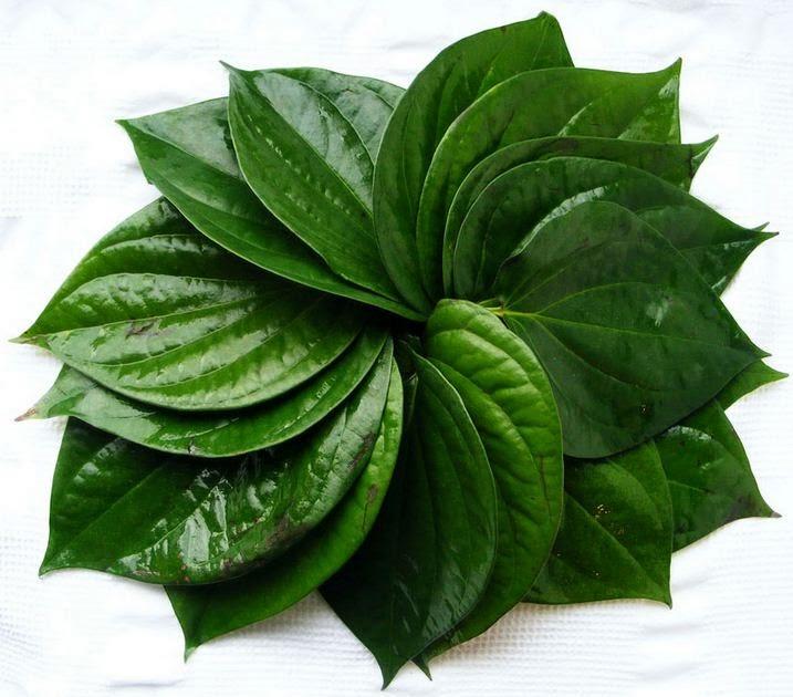 khasiat daun sirih bagi kesehatan