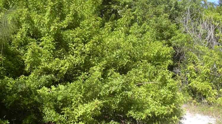 Dibalik Misteri Pohon Gharqad