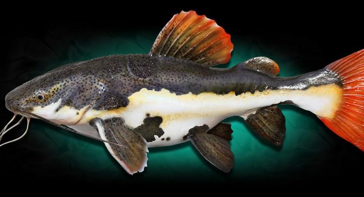 ikan redtail catfish