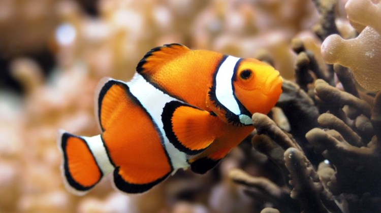 Ikan Badut, Si Nemo Yang Gemar Petualang