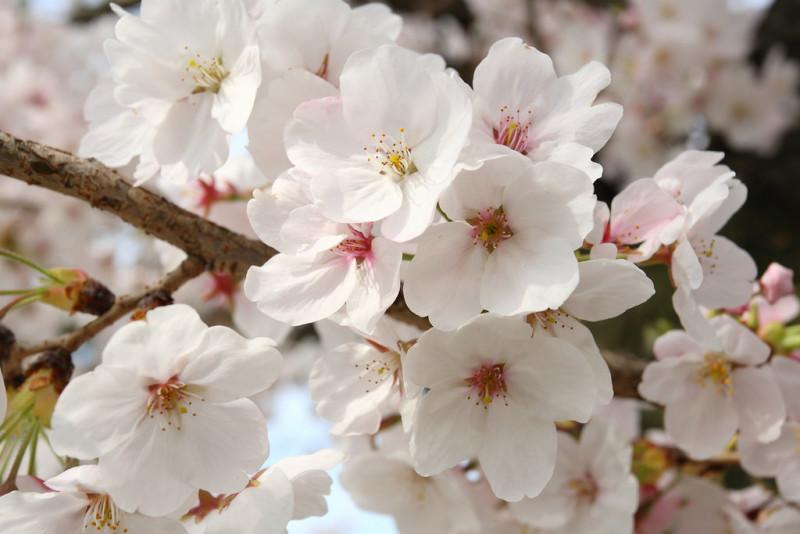 bunga sakura Someiyoshino
