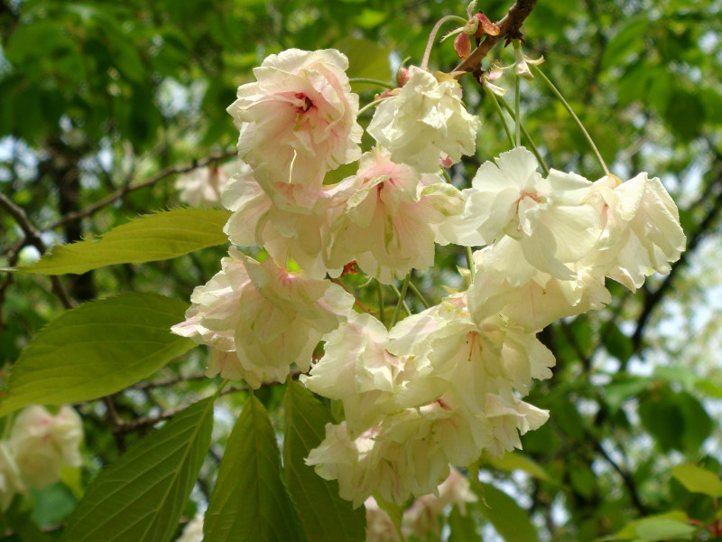 bunga sakura Ukon