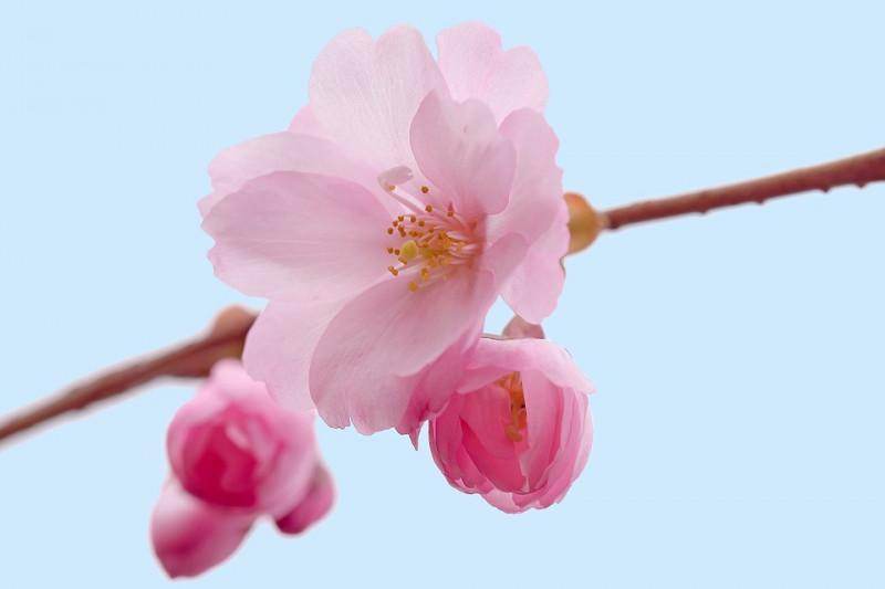 bunga sakura cherry blossoms
