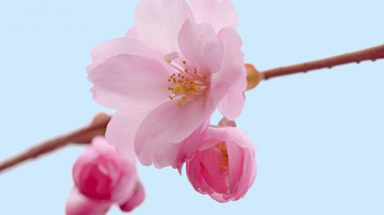Mari Berkenalan Dengan 10 Jenis Bunga Sakura & Fakta Tentang Bunga Sakura Jepang