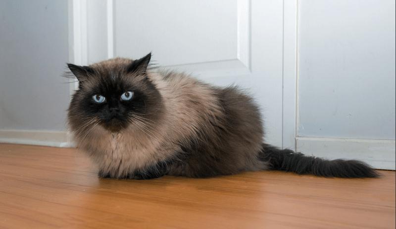 gambar kucing persia himalayan