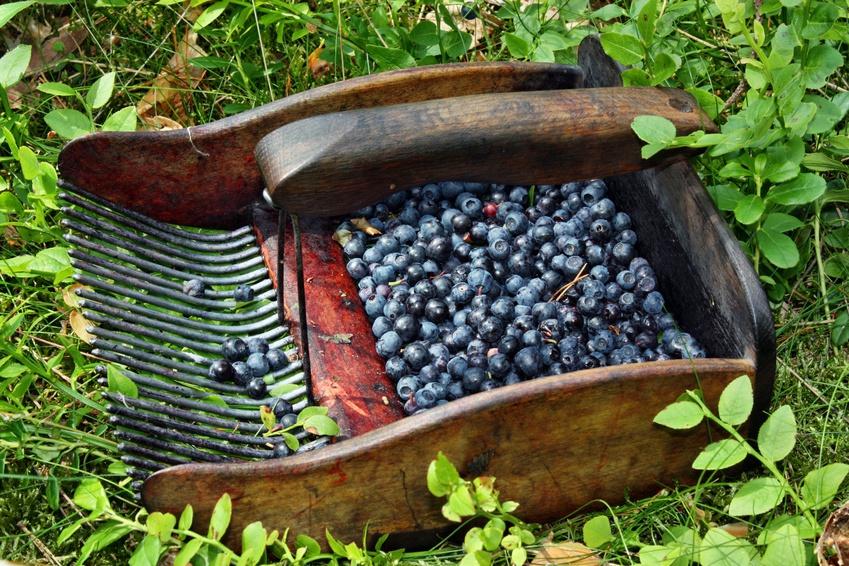 La Myrtille : perle noire de l'Ardenne