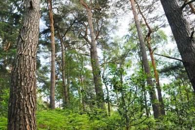 pins sylvestres