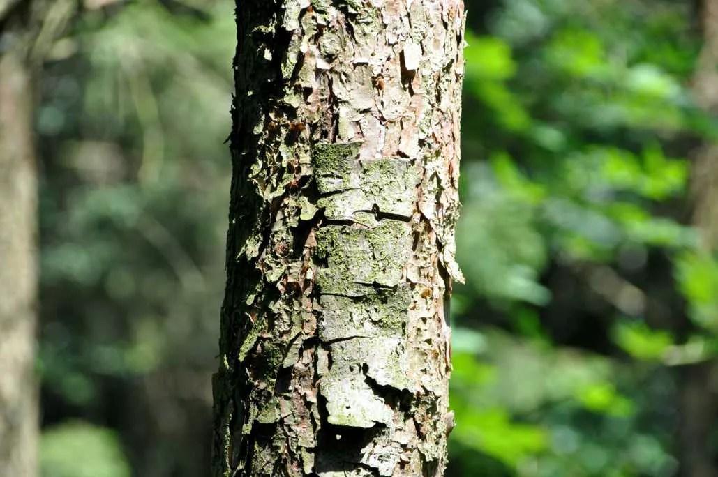 ecorce d'un jeune pin
