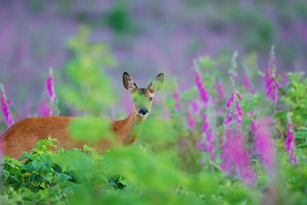 Le chevreuil, prince d'Ardenne