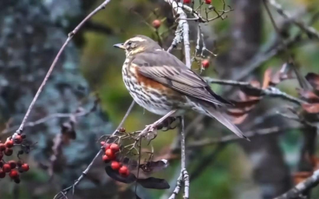 Les baies d'automne – Un garde-manger pour les oiseaux