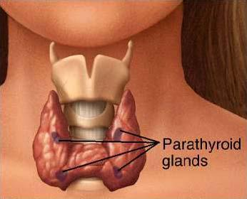 Parathyroïdes