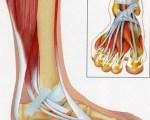 Anatomie du pied