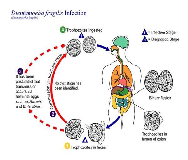 Intestinal protozoan infections
