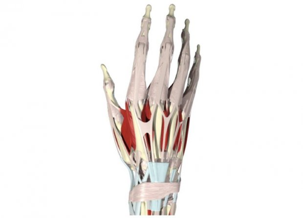 Traumatic lesion of the extensor tendons in zone 5 - boxer