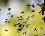 Envenimation par piqûres d'hyménoptères