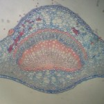 Microscopie Botanique