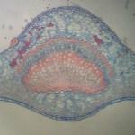 Botanical Microscopy