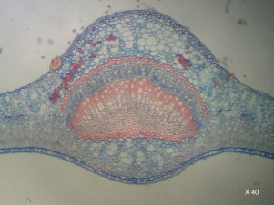 Fougère coupe microscopique, Grossissement x40
