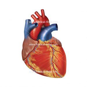 Heart Medical Illustrations Heart Anatomy Human Heart Anatomy