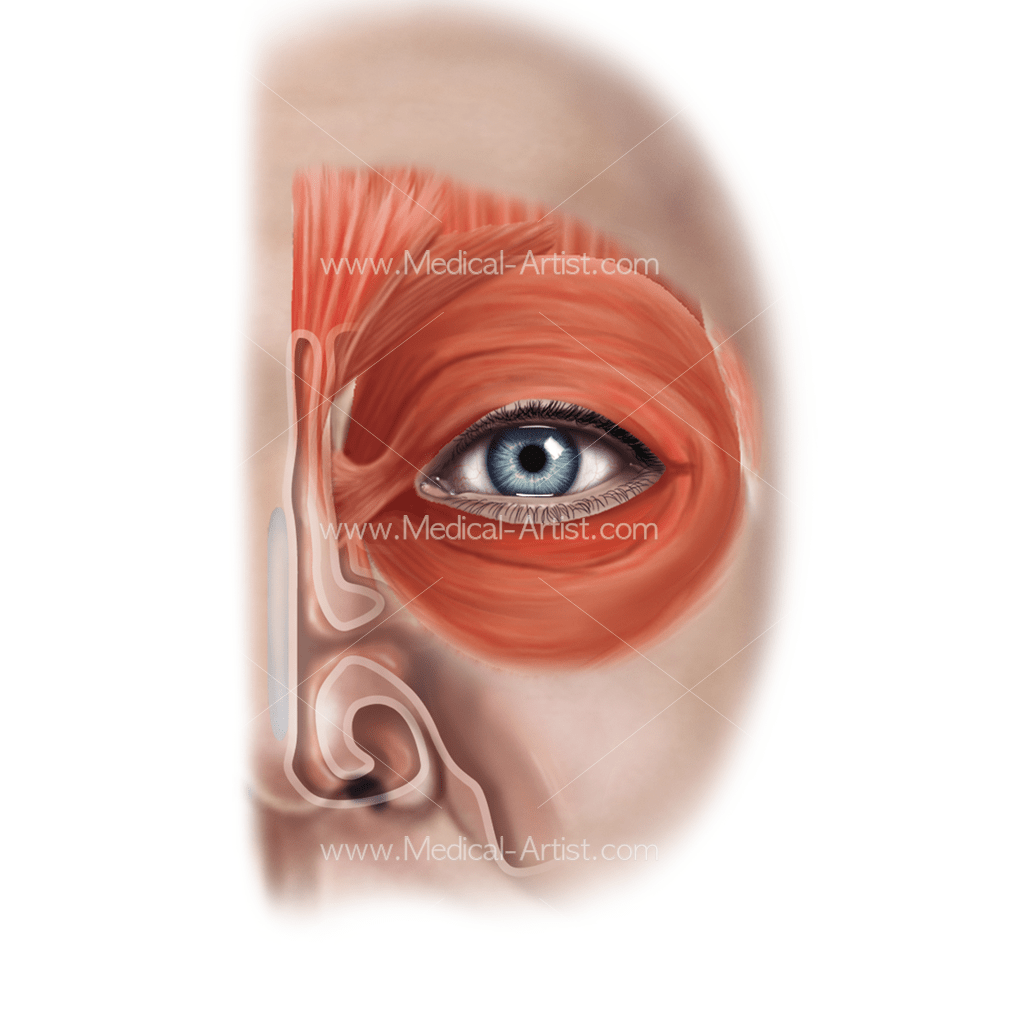 Msucles Eye Anterior Superficial View
