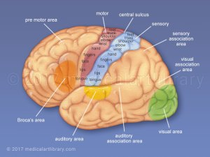 Motor Ociation Cortex Function  impremedia