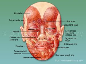 Muscles of the Face  Mimetic Muscles  Medical Art Library