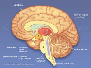 Brain Anatomy  Internal Structures  Medical Art Library