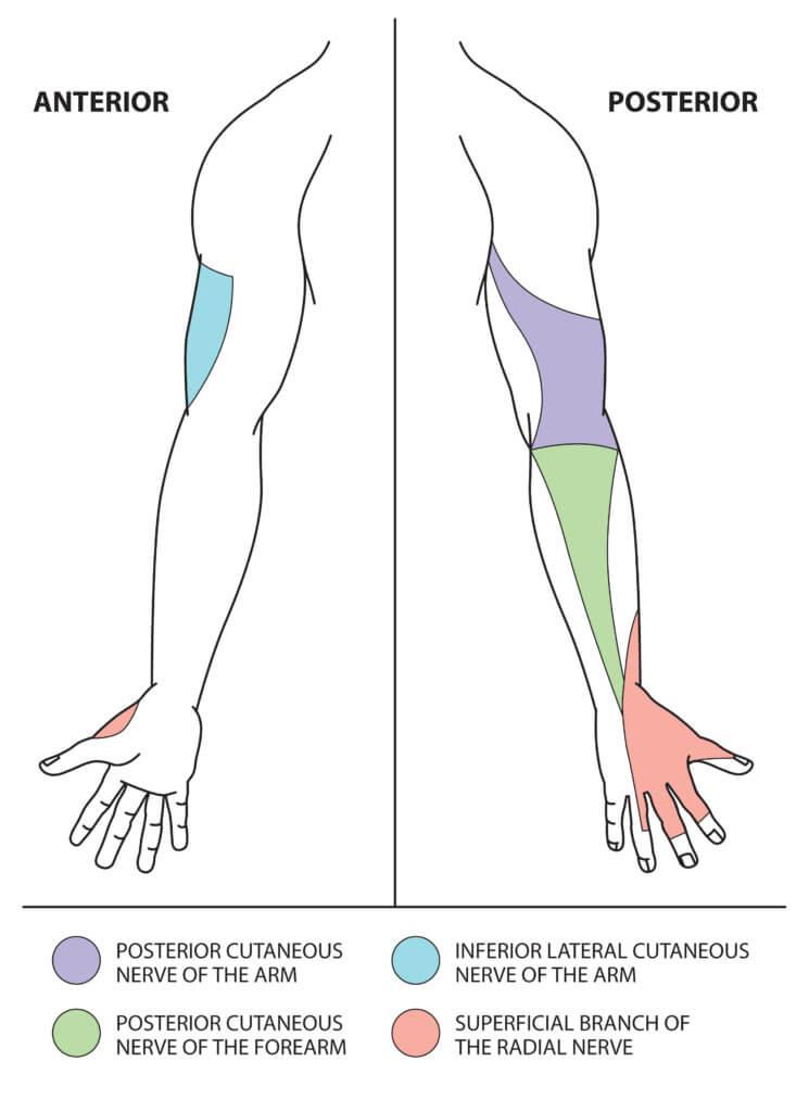 Distribution Hand Radial