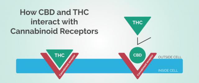 Cannabis and the Human CB Receptors
