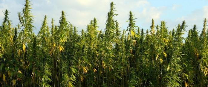 image of hemp plant