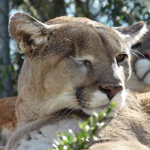CBD mountain lion