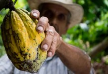 cocoa shells reduce inflammation