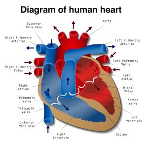 Heart Disease: Definition, Causes, Research  Medical News Today