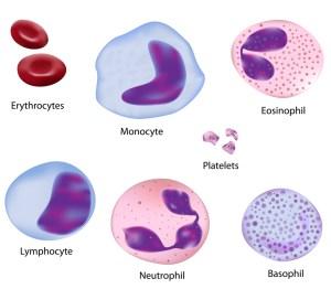 Lifespan of human body cells