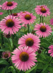 echinacea-purpurea-primadonna-deep-rose-l7431-2