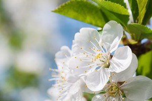 Spring flowers of fruit trees