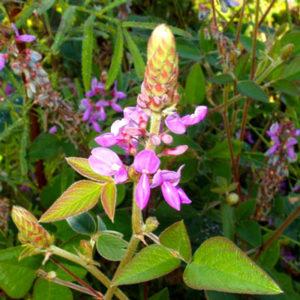 Desmodium plante