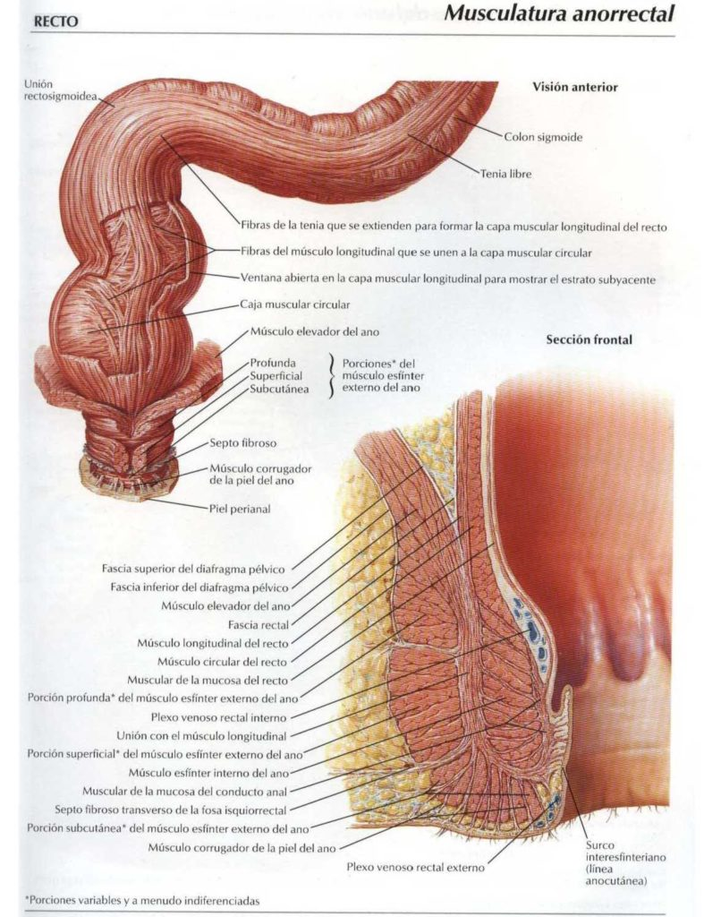 Musculatura recto anal