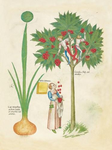 Tractatus-de-herbis