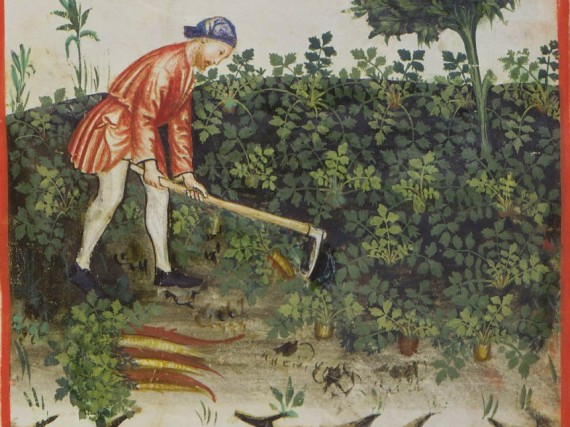 Carrot farming in the Tacuinum sanitatis