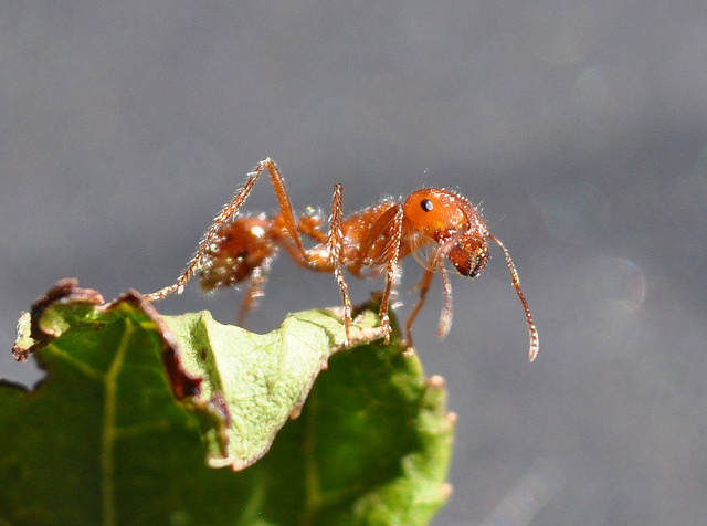 fire ant  photo Rick Hagerty / Flickr