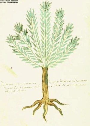Rosemary pictured in an Italian manuscript from around the year 1500