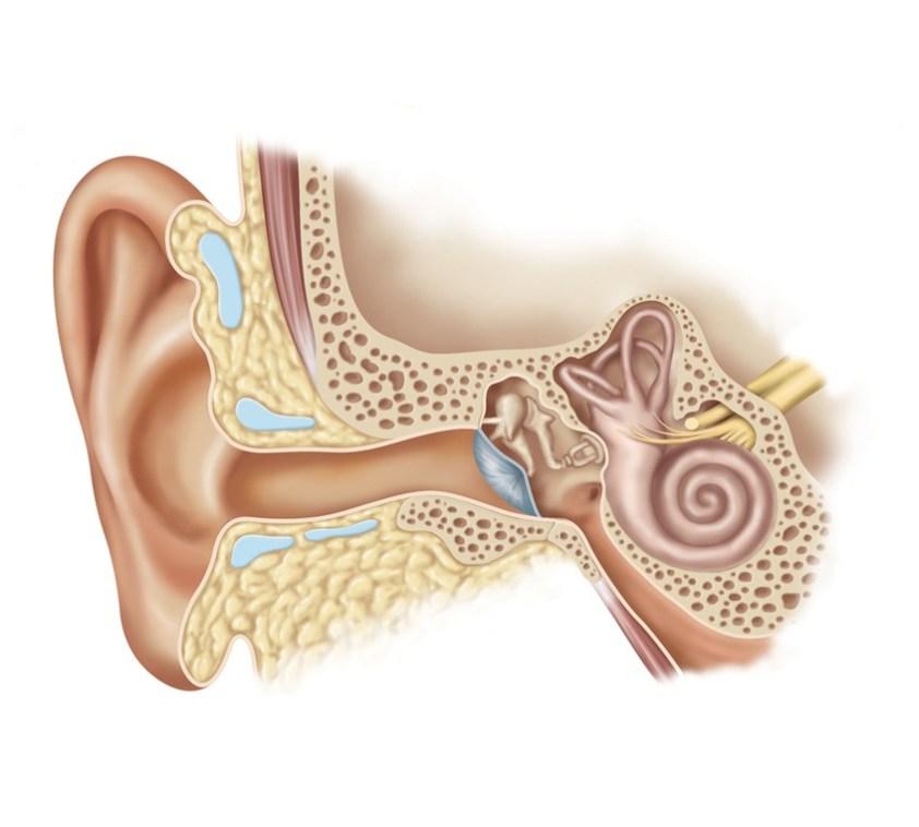 Ear Anatomy Illustration by Kristen Wienandt Marzejon ...
