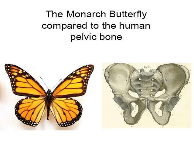 Monarch butterfly and the human pelvic bone