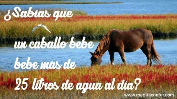 Hay caballos que beben más de 25 litros al día. (Sabías que 2017)
